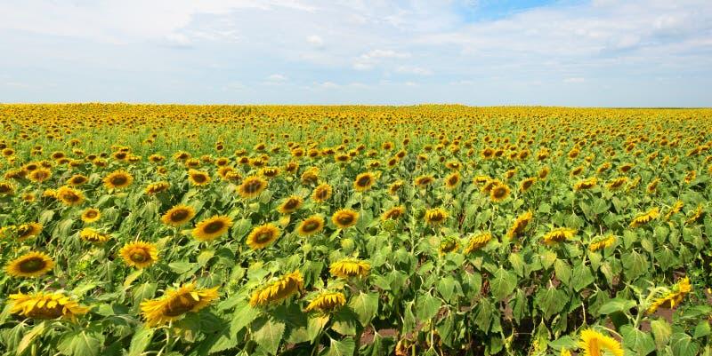 Солнцецвет, поле солнцецветов, панорама, знамя стоковое фото rf