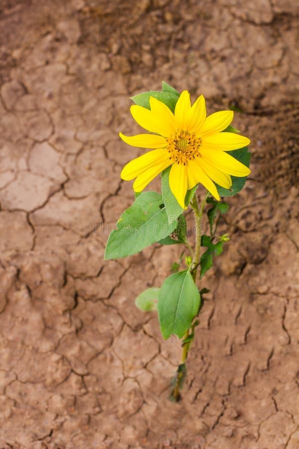 солнцецвет сада стоковые фотографии rf