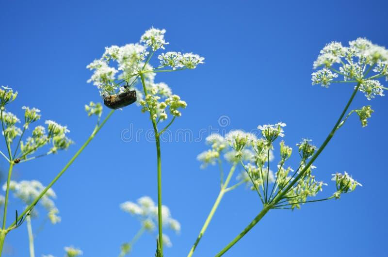 солнцецвет семян цветка предпосылки blossoming стоковое изображение