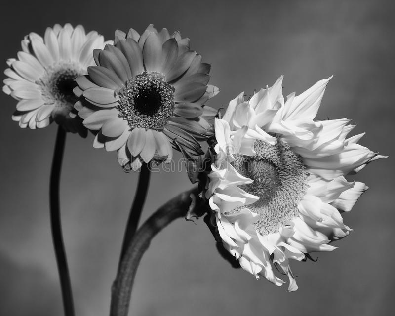 Солнцецвет смешанный с 2 другими цветками стоковые изображения rf