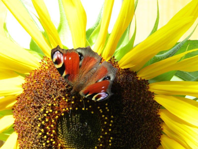 Солнцецвет с бабочкой стоковое изображение rf