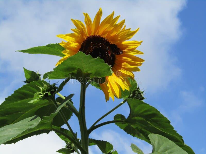 Солнцецвет с бабочкой стоковое изображение