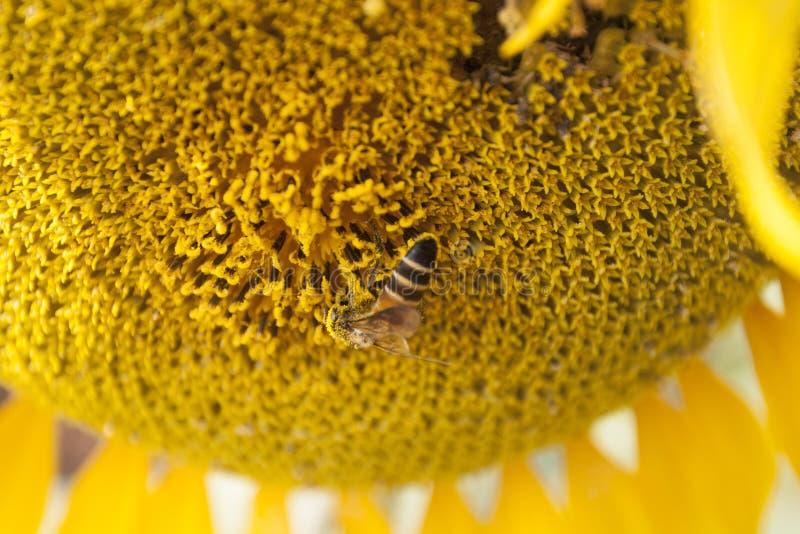 Солнцецвет с пчелой стоковые изображения
