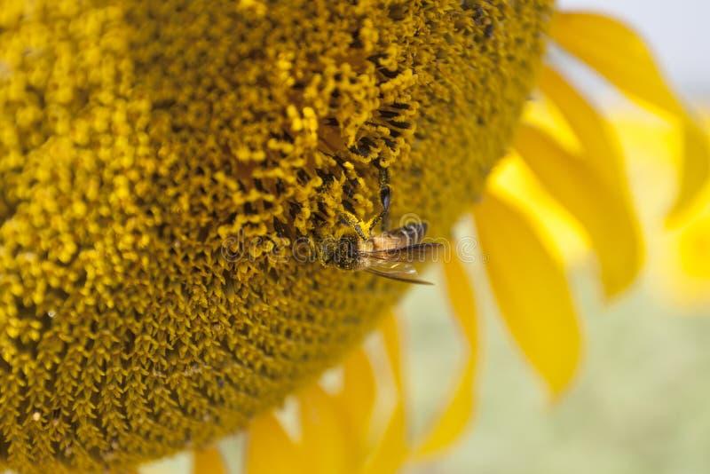 Солнцецвет с пчелой стоковые фотографии rf