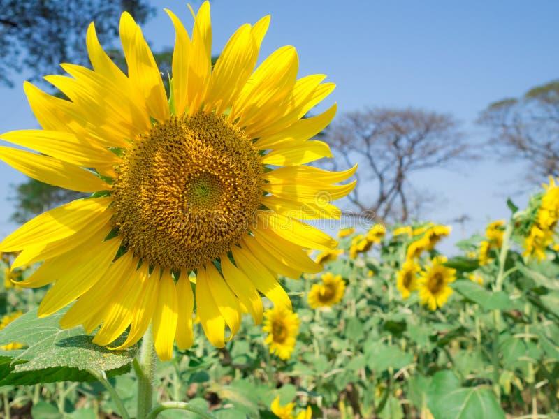 Солнцецвет с солнцецветами садовничает и ба голубого неба запачканным стоковое фото rf