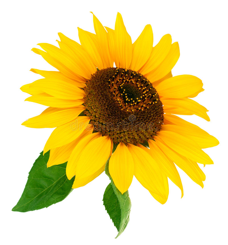 Солнцецвет цветка с зелеными лист стоковое фото rf