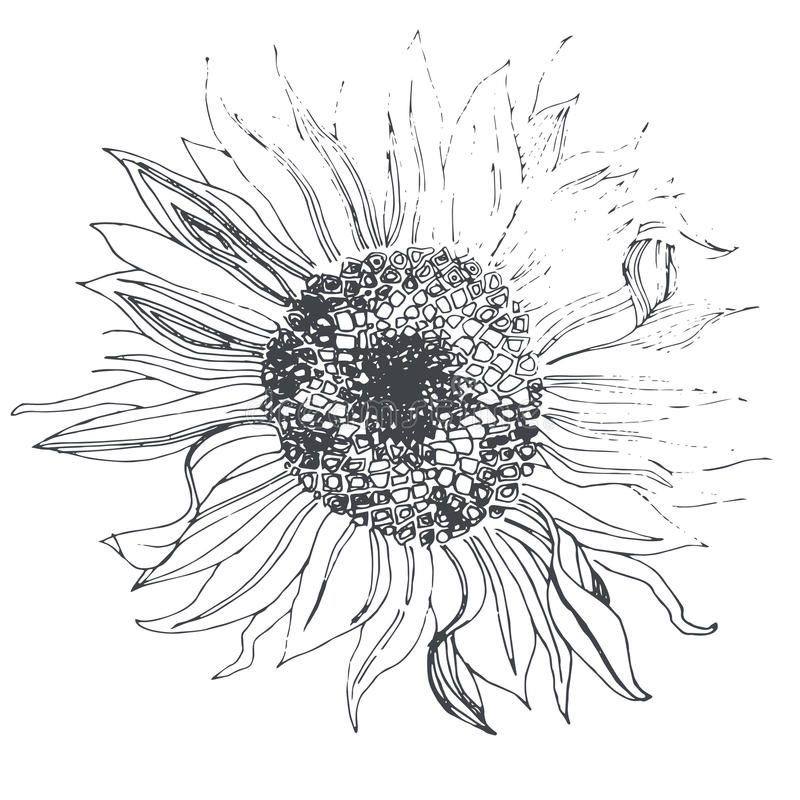 Солнцецвет бесплатная иллюстрация