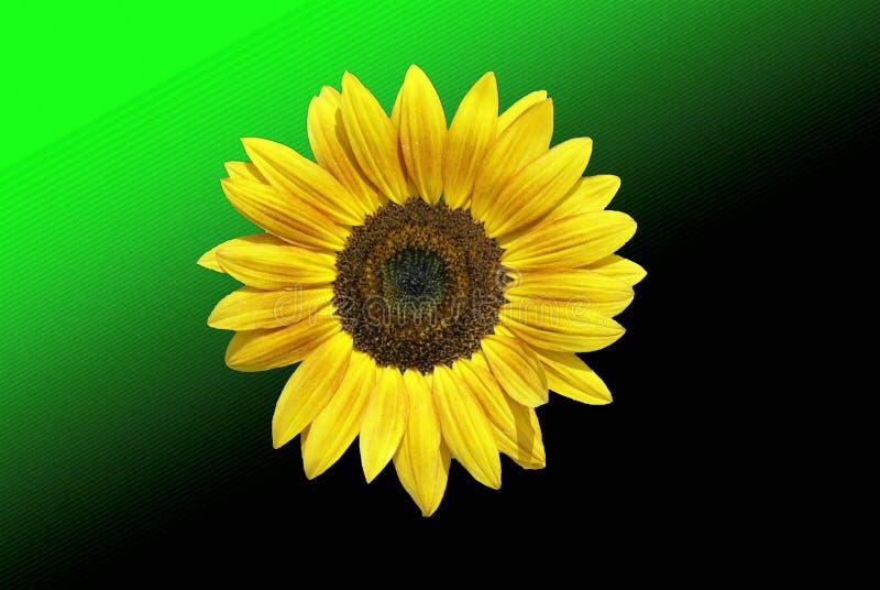 Download Солнцецвет стоковое фото. изображение насчитывающей семена - 40577532