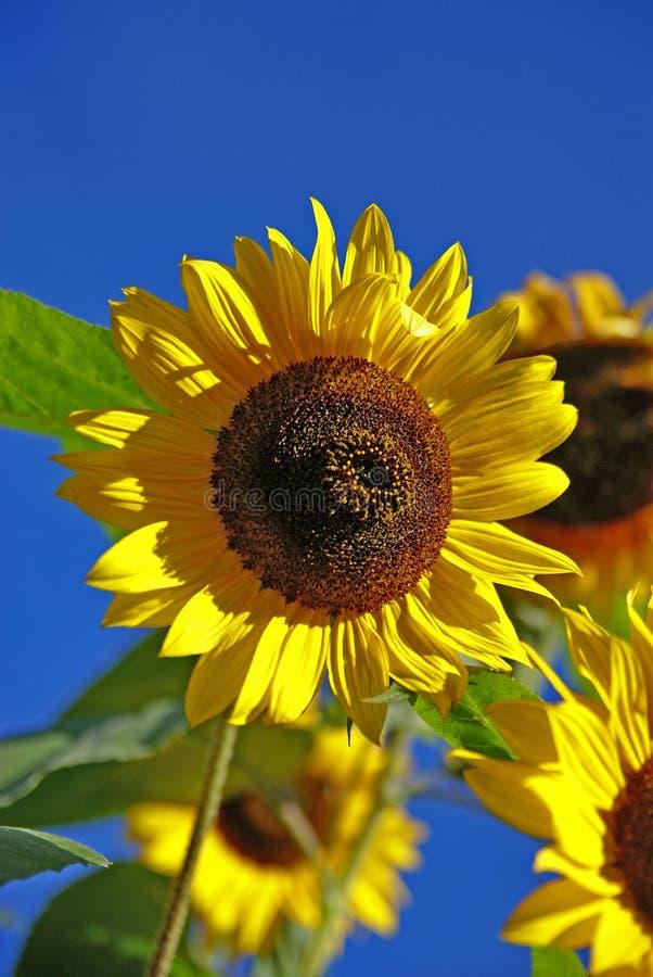 Download Солнцецвет стоковое фото. изображение насчитывающей лето - 40585346