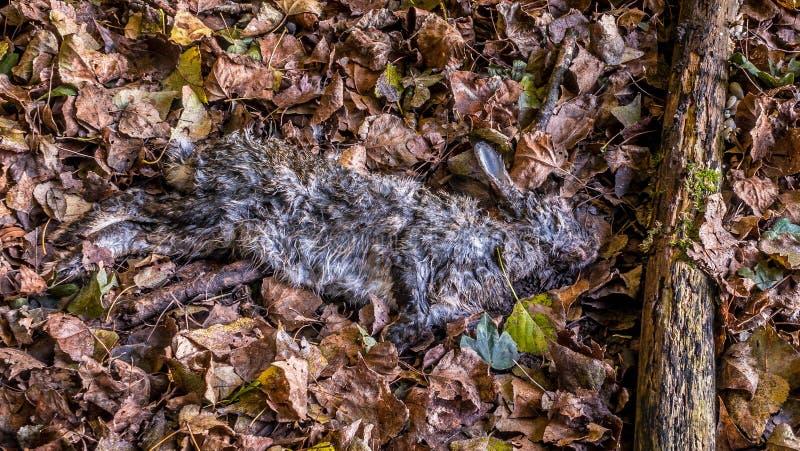 Солнце зимы на мертвом кролике на листьях осени стоковая фотография rf
