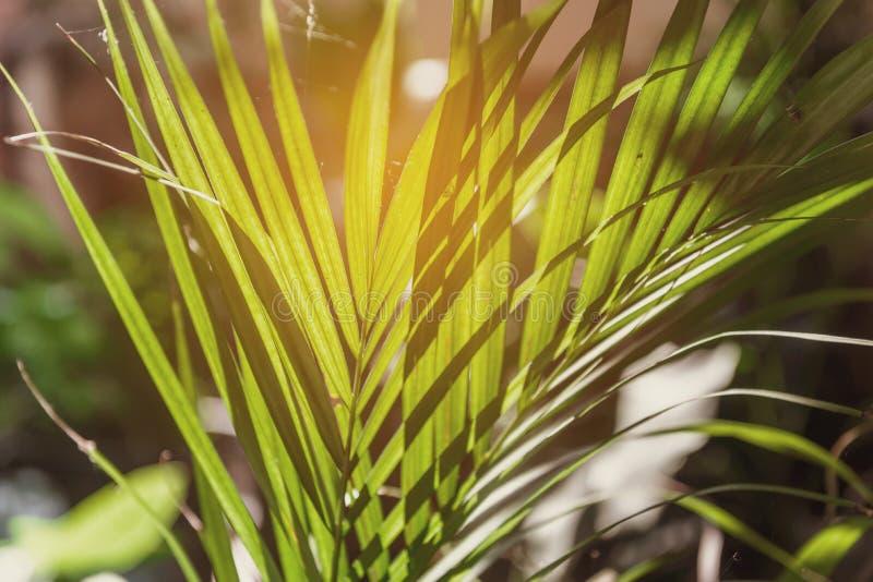 Солнце светя через лист ладони излучать стоковые изображения
