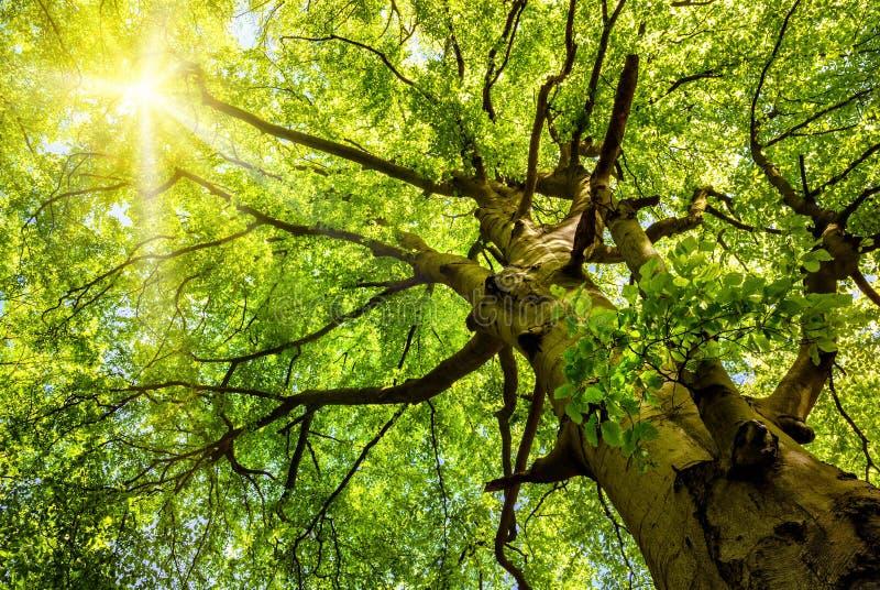 Солнце светя через старое дерево бука стоковое изображение rf