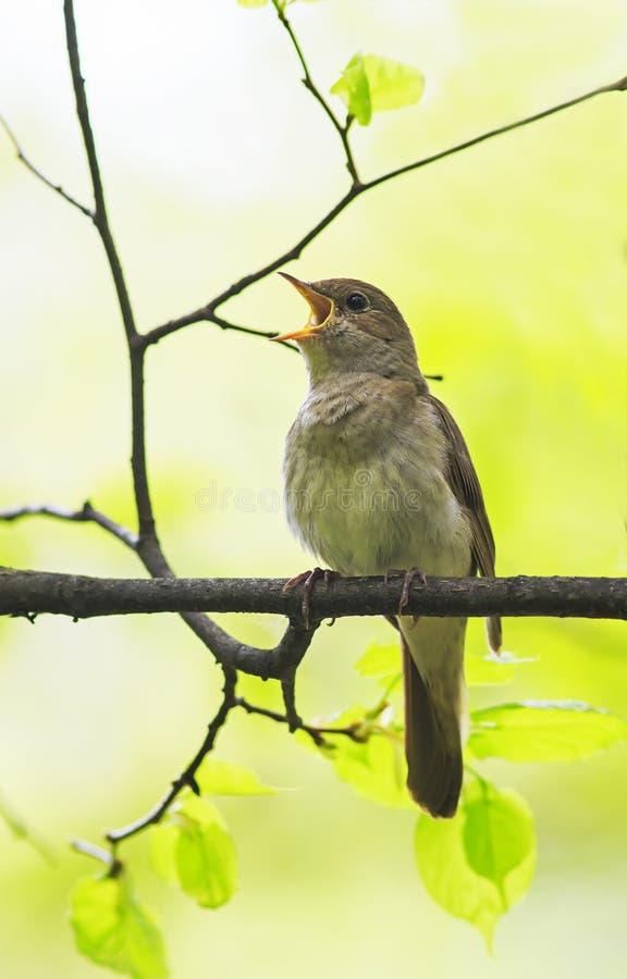 Соловей птицы поет громко весной лес стоковое изображение