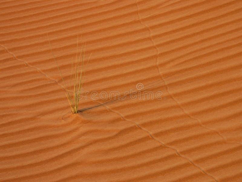 Соломы травы в пустыне стоковая фотография