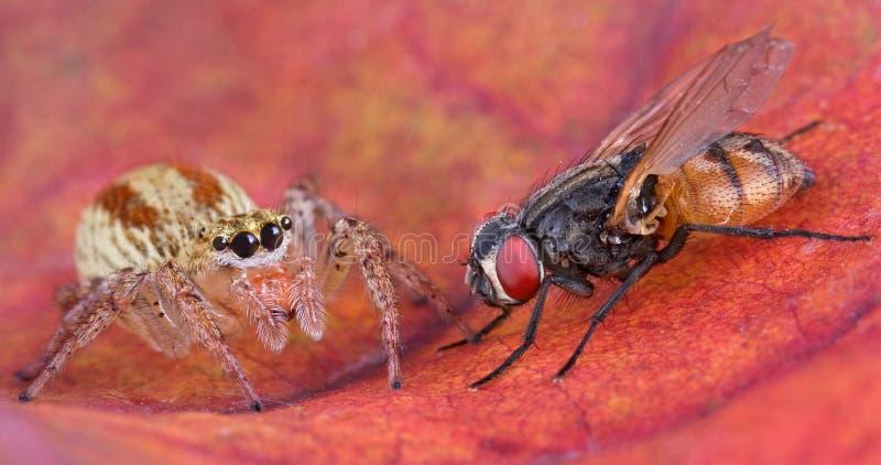спайдер 2 мух скача стоковое фото
