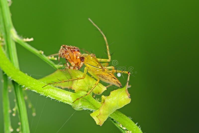 спайдер lynx коричневой еды legged стоковые изображения rf