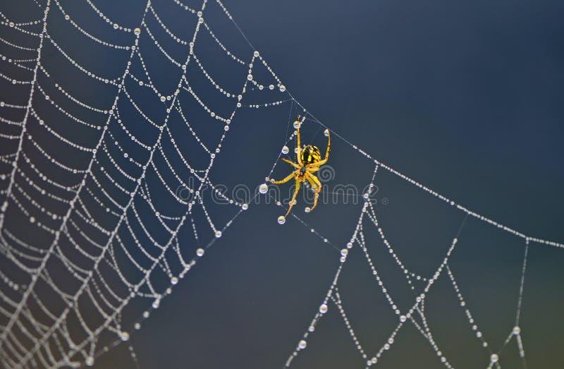 Спайдер на сети паука стоковые фотографии rf
