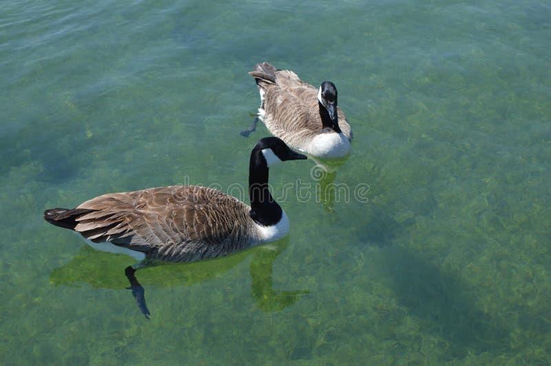Спарите уток плавая на озеро стоковое фото rf