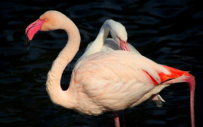 Спарите фламинго стоковые изображения