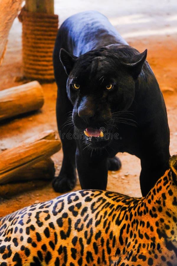 Спарите ягуаров в зоопарке Таиланде стоковое изображение