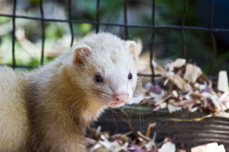 спасенный ferret стоковые фотографии rf