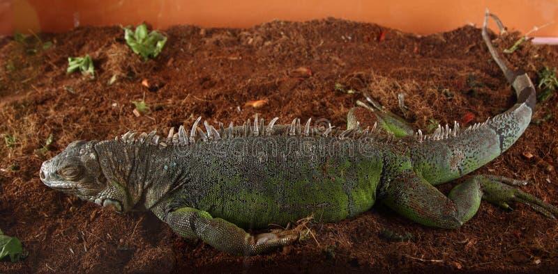 Спать игуаны стоковые фото