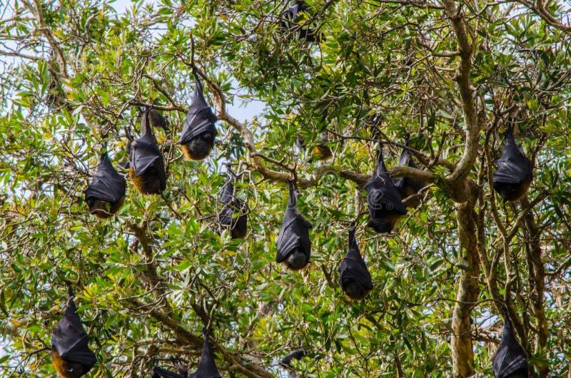 Спать летучих мышей вверх ногами на пуке деревьев стоковые фотографии rf