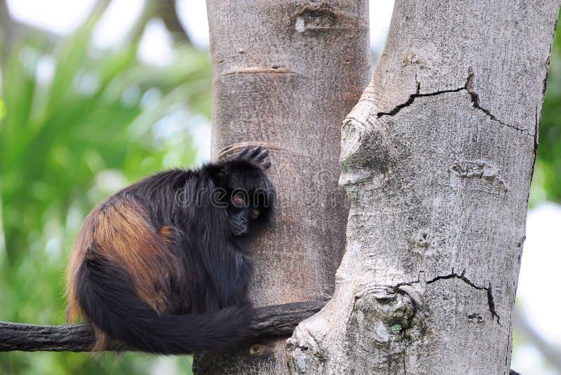 спать обезьяны стоковое фото