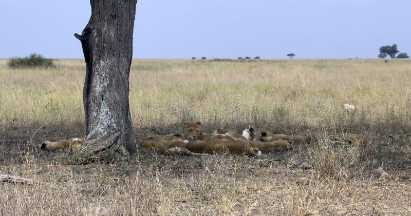 Спать семья льва стоковые изображения rf