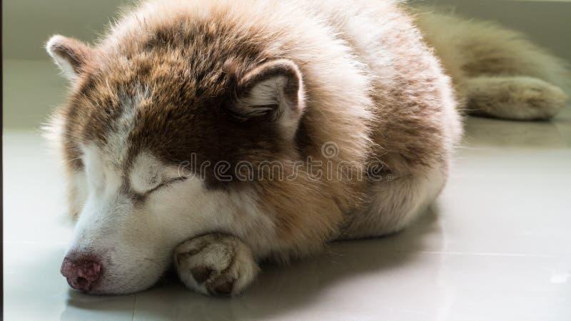 Спать сибирской лайки стоковое изображение rf