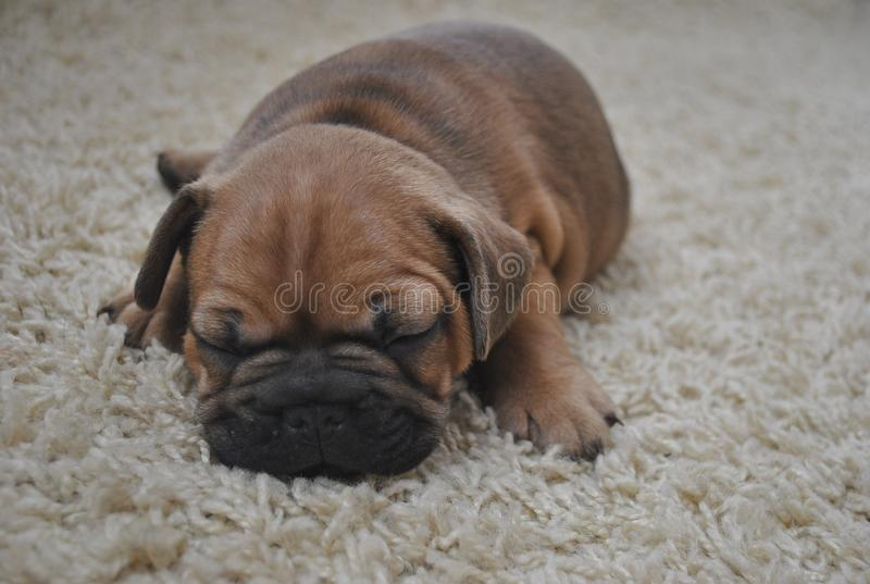 Спать щенка коричневого цвета французского бульдога стоковые изображения rf