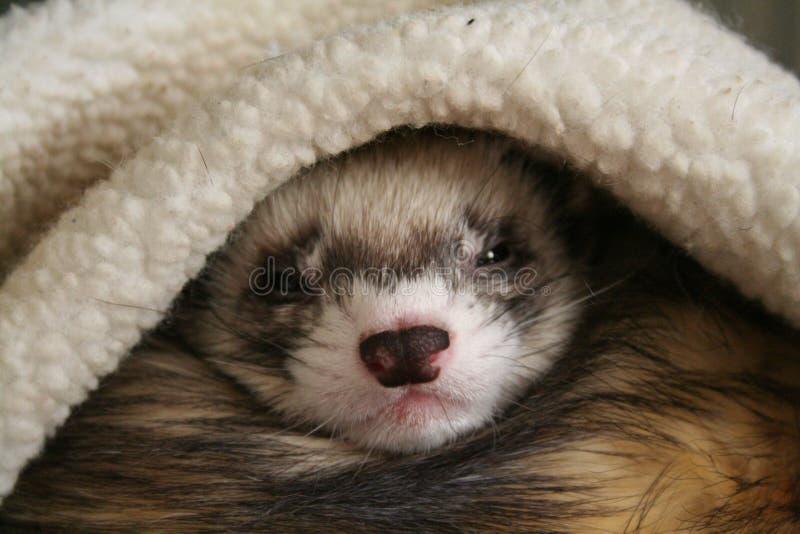 спать ferret стоковые фотографии rf