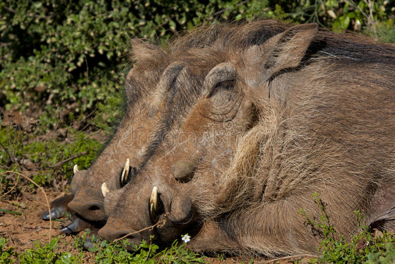Спать Warthogs стоковые изображения