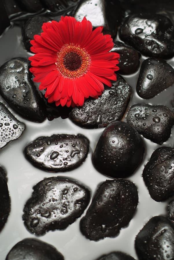 спа gerbera маргаритки стоковые изображения rf