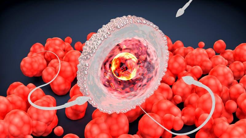 Сперма и яйцеклетка Зародыш ранней стадии иллюстрация вектора