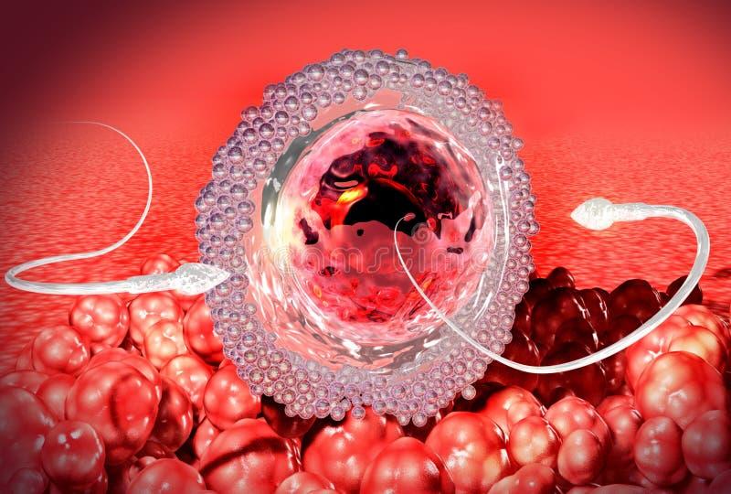 Сперма и яйцеклетка Зародыш ранней стадии бесплатная иллюстрация