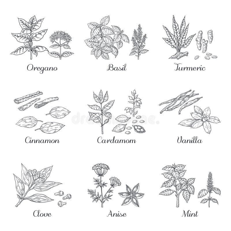 Специи руки вычерченные Травы и овощи делают эскиз к элементам, базилику кардамона турмерина душицы и мяте Еда вектора индийская бесплатная иллюстрация