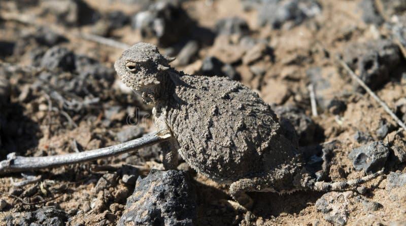 Спиковая жаба дракона стоковое изображение