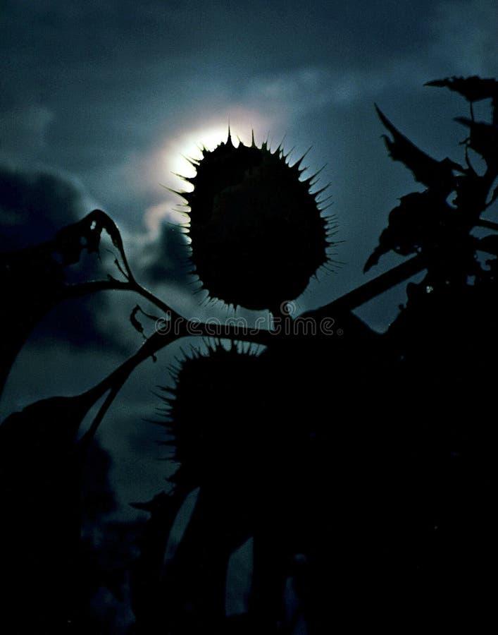 Спиковой силуэт семени стоковое изображение rf
