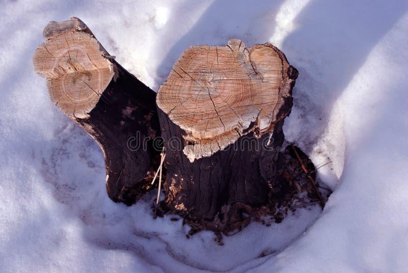 Спиленный пень 2 деревьев акации на снежном glade, естественной органической предпосылке, закрывает вверх по детали стоковое изображение rf