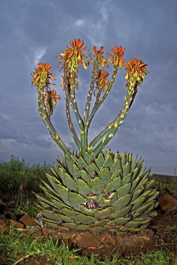 спираль цветка алоэ стоковые фотографии rf