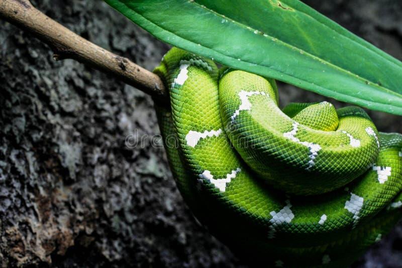 спиральная зеленая змейка стоковое фото