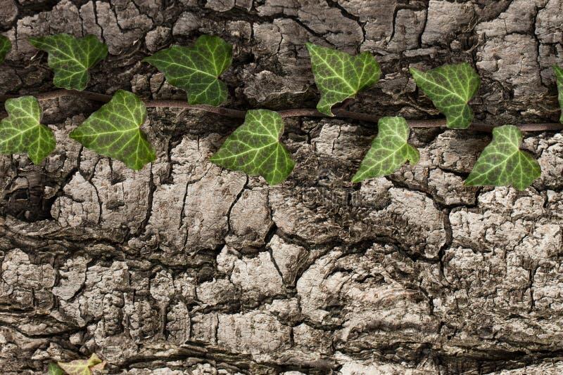 Сплетя плющ на коре старого дерева естественная текстура, предпосылка, конец-вверх стоковая фотография rf