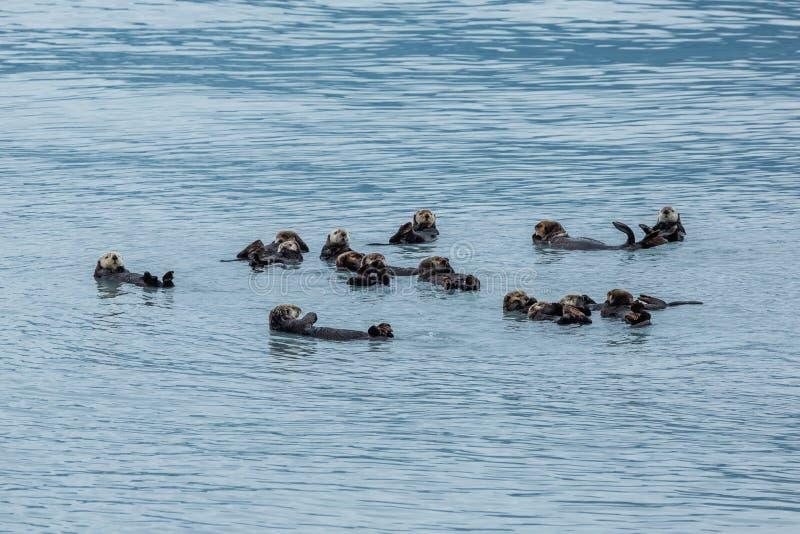 Сплоток морских выдр плавая совместно в Prince William Sound стоковая фотография