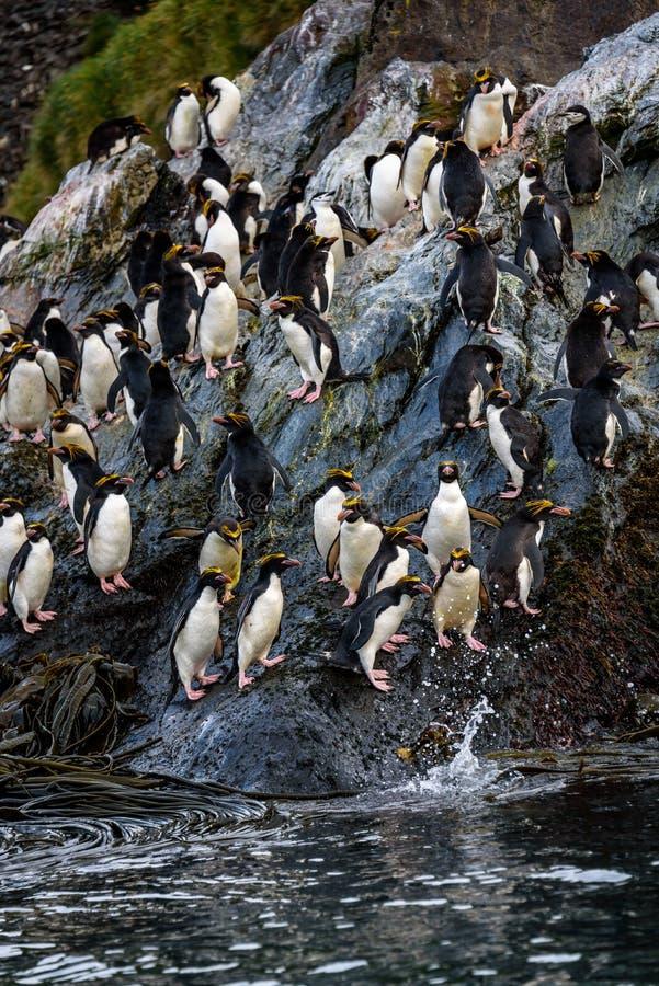 Сплоток пингвинов макарон подпрыгивая вниз с большого утеса к океану на утро питаясь, бондарям преследует, Южная Георгия стоковая фотография rf