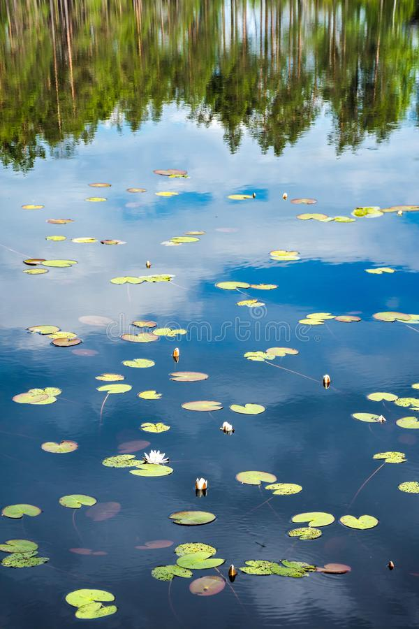 Спокойная поверхность озера с waterlilies и соснами отразила в воде стоковые фотографии rf