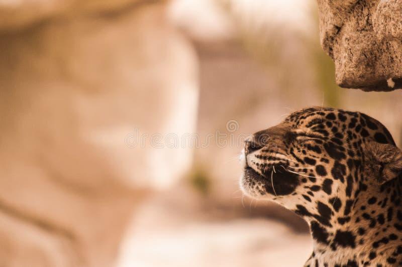 Спокойный леопард стоковая фотография rf