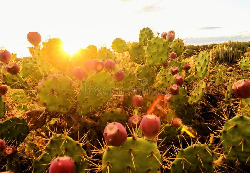 Спокойный заход солнца пустыни кактуса стоковые изображения