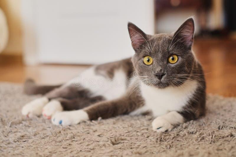Спокойный серый и белый кот лежа на поле ждать для того чтобы быть накормленныйся и смотря любопытно на камере стоковая фотография