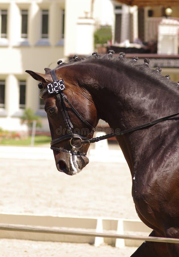 спорт портрета лошади стоковое изображение